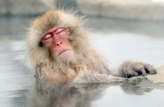 It's Friday, so here's a slideshow of macaques from around the world