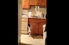 This dog is dancing to Gloria Estefan, and bloody loving it