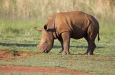 Rhino killings for horns rise rapidly in South Africa