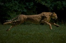 Video: Oh, a cheetah in (slow) motion