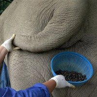 Coffee picked from elephant dung costs €40 a cup