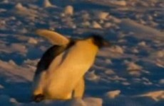Penguins are always falling over … here's 5 pieces of evidence