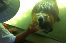 Look at this brilliant video of a beaver waving at a little boy