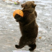 Why is this bear strutting around?