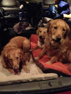 Dogs sent to Newtown to comfort school shooting survivors