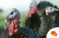 Column: I raise turkeys for Christmas. Here's how it goes.