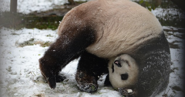 Panda Playing in the Snow Pics of the Day