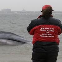 Whale beached in New York neighbourhood dies