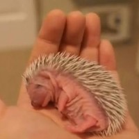 True facts about the angler fish, baby echidnas and baby hedgehogs