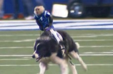 So a monkey herded sheep while riding a dog like a horse at half-time in one NFL game last night