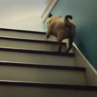 VIDEO: Pug bouncing UP the stairs... and bloody loving it