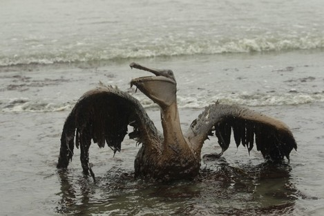 In this Thursday, June 3, 2010 file picture, a Brown Pelican tries to raise its wings as it sits on the beach at East Grand Terre Island along the Louisiana coast after being drenched in oil from the Deepwater Horizon oil spill.