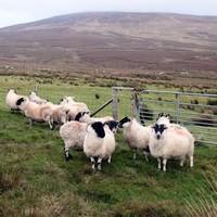 United Arab Emirates market opens to Irish sheep meat