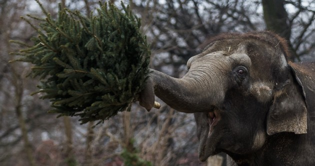 Not sure what to do with the Christmas tree? Feed it to an elephant