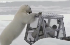 WATCH: Hungry polar bear meets man in Perspex box