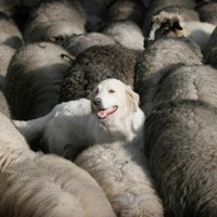 Sheep farmers call for microchipping of dogs following 'distressing attacks'