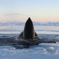 PICS: Killer whales trapped in sea ice