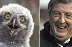 VIDEO: More owls that look like England manager Roy Hodgson
