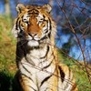 Dublin Zoo welcomes two-year-old, rare tiger