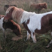 Four ponies rescued as ISPCA gets record no of equine distress calls