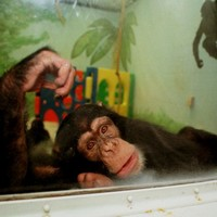 Research chimpanzees to be 'retired' in the US
