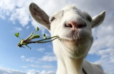 No kidding: Gary the goat brought to court - for eating flowers
