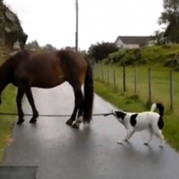 This? Just a dog, taking a horse for a walk