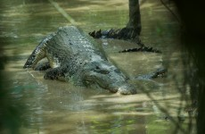 South Africa tries to capture 15,000 runaway crocodiles
