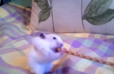 VIDEO: Hamster versus breadstick... hamster wins