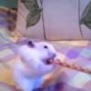 VIDEO: Hamster versus breadstick... hamster wins