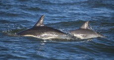 PHOTOS: Just some dolphins and whales hanging out off Wexford