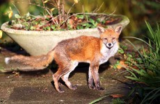 Calls to tackle urban fox problem after attack on baby