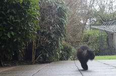 Take a break and meet Caffrey, the cat with two legs (VIDEO)