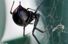 OUCH: Golfer bitten by black widow spider used a tee to drain the venom