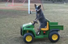 Look at this dog driving a go-kart... and bloody loving it