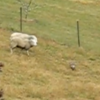 VIDEO: Sheep turns the tables on an unsuspecting fox