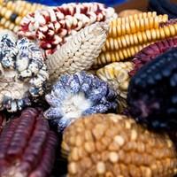 Ireland to bring GM crops onto home market