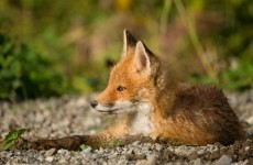 Four tips to better understanding the fox