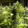 US gardening coaches giving marijuana-growing lessons