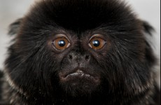 Introducing the goeldi monkey...