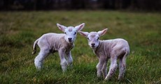 PIC: 'Look at these cute newborn lambs' photo of the day