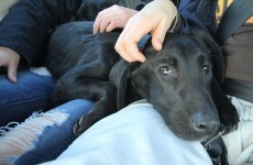 Dumped and dying, Finzi's tale serves as warning to dog owners