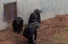 VIDEO: Retired lab chimps get to go outside for the first time ever