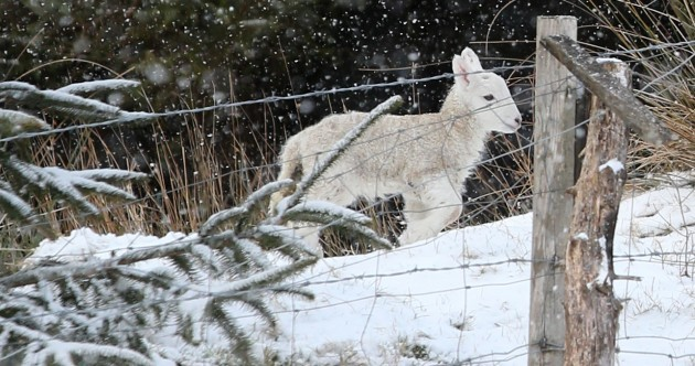 Spring Lamb in Snow Pic of the Day