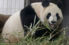 VIDEO:  This is the most important panda sex you'll ever see*