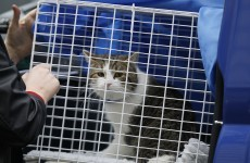 Downing Street opens war on rats with rodent-catching cat appointment