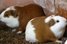 Americans are consuming more guinea pig than ever before