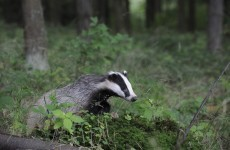 Ireland in breach of European convention over badger culling reports