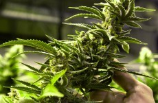 £100,000 worth of cannabis plants seized in Belfast