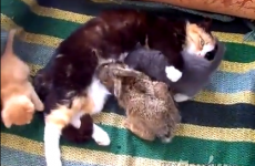 STOP EVERYTHING! A cat has adopted a rabbit